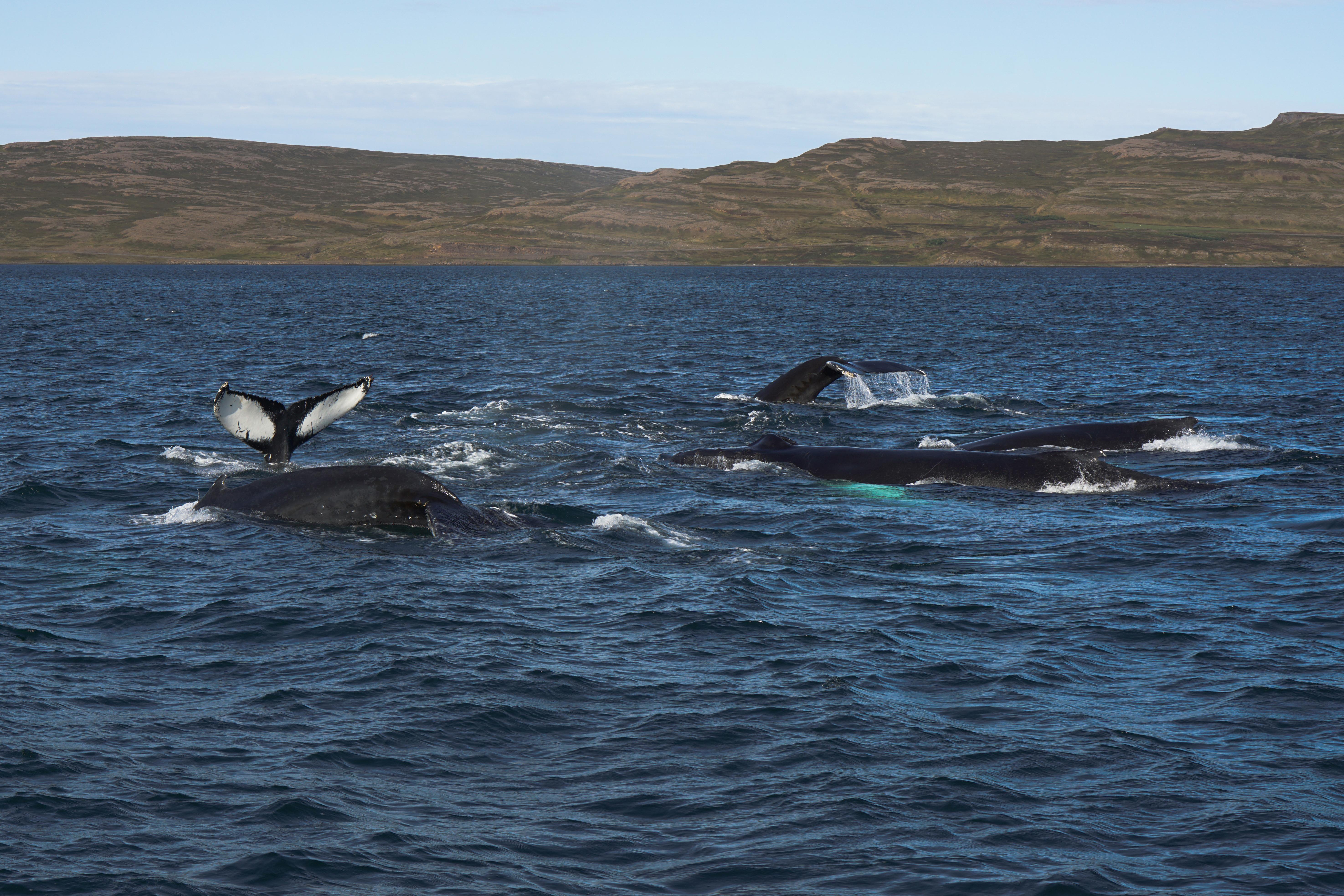 Hólmavík whales iceland